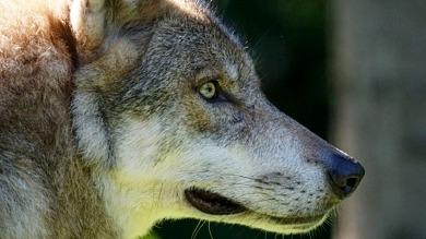 Au fil d'Ariane - Grand méchant loup ?